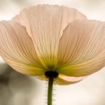 poppy-1327259_1280