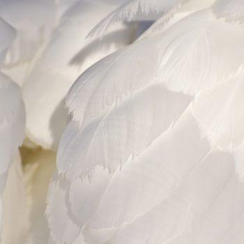 witte veren zwaan